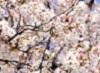 韓國賞櫻趣~南怡島、輪中路櫻花大道、亂打秀五日遊(含領隊導遊小費)