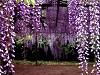 飛舞紫蝶  伴芝櫻~足利紫藤花瀑、粉蝶花海、芝櫻の丘、秘境輕井澤温泉五日